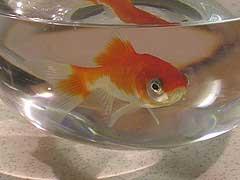 Non au bocal poissons rouges for Plante bocal poisson rouge