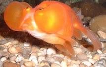 Pin gros plan yeux bleus remarquer parent de petite taille for Poisson rouge gros yeux