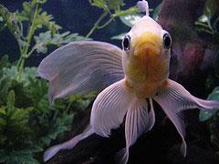 Filtration de l 39 aquarium for Poisson comete bassin
