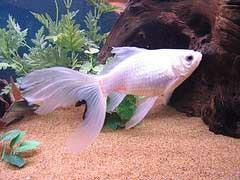Les couleurs des poissons rouges for Poisson comete bassin