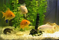 Choisir un aquarium poisson rouge for Aquarium 30l combien de poisson rouge