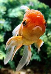 La page du poisson rouge r gle d 39 or de l 39 aquariophilie for Poisson rouge japonais