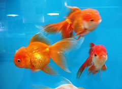 La croissance des poissons rouges for Nourriture poisson rouge super u