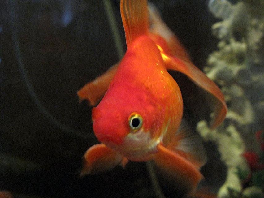 Vari t s de poissons rouges la page du poisson rouge for Poisson rouge gros yeux