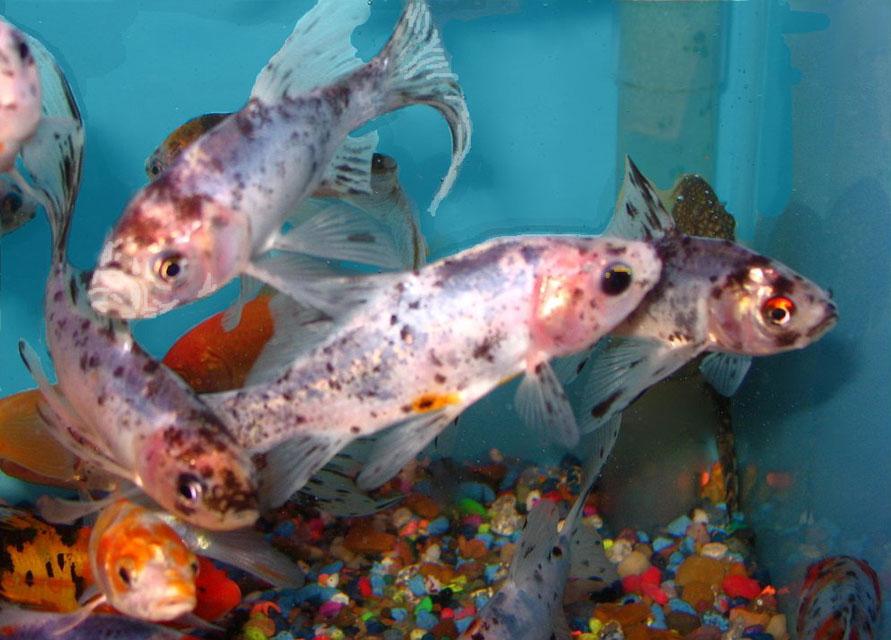 grosse queue de poisson