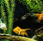 Aquarium poissons rouges