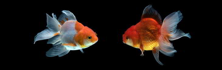 Le poisson rouge en aquarium