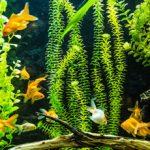 L'aquarium à poissons rouges