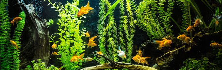 Comment choisir un aquarium poisson rouge for Avoir un aquarium poisson rouge