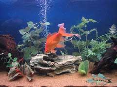 Poisson rouge avec bulles