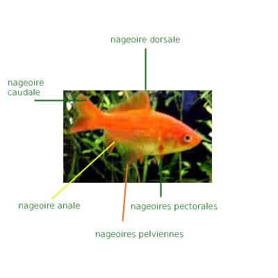 Identification des nageoires des poissons