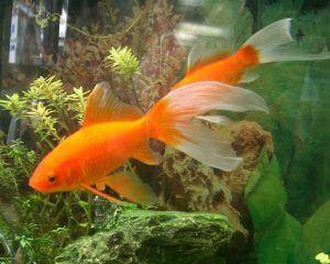 poissons rouges en aquarium planté