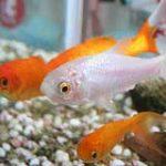 Couleurs des poissons rouges
