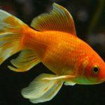 Durée de vie du poisson rouge