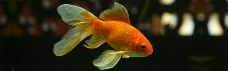 Croissance du poisson rouge quelle taille font les for Bac a poisson rouge