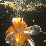 Le saviez vous dix faits tonnants sur les poissons rouges for Nourriture poisson rouge carotte