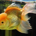 Le saviez-vous? Dix faits vraiment étonnants sur le poisson rouge