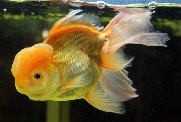Oranda poisson rouge