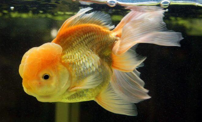 Le saviez vous dix faits tonnants sur les poissons rouges for Gros poisson rouge