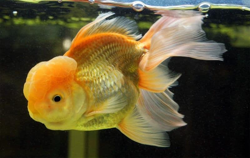 Le saviez vous dix faits tonnants sur les poissons rouges for Filtre poisson rouge