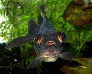 Gros plan sur le t lescope la page du poisson rouge for Poisson rouge gros yeux