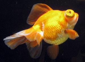 Télescope poisson gros yeux