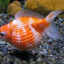 Perlé orange et blanc - Pearlscale