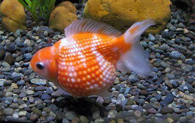 Perlé orange et blanc - Pearlscale