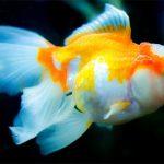 Quelle température pour votre bac à poissons rouges?