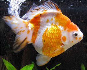 Ryukin orange et blanc avec des taches noires