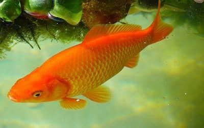 Poisson rouge commun en bassin vue du dessus